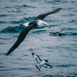 Albatross and Cape Petrels in the Southern Ocean